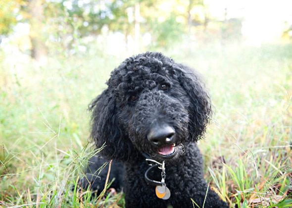 meet the diverse dogs of the nonsporting group � photo