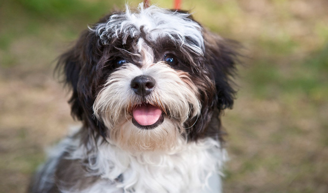 facts about shih tzu shih tzu dog breed information 5773