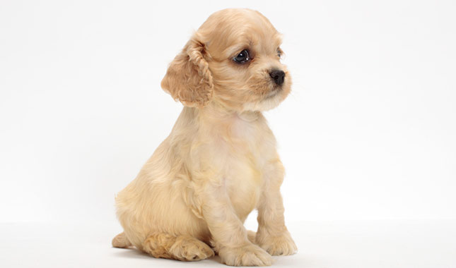 picture of cocker spaniel dog cocker spaniel dog breed information 5732
