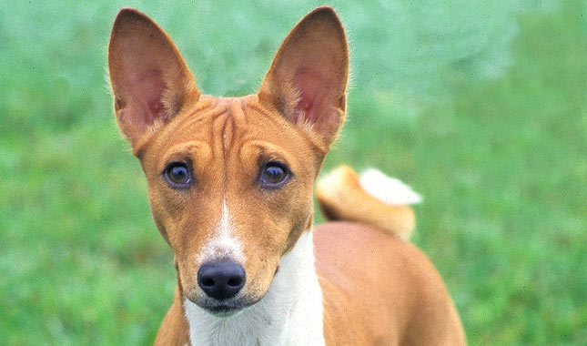 Basenji Breed Information