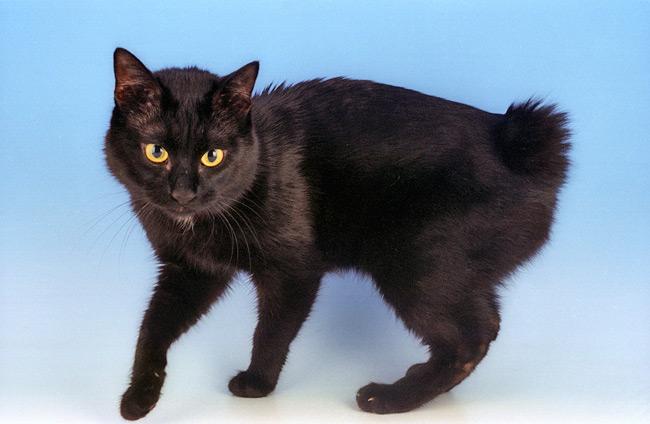 Japanese Bobtail Cat Breed Information