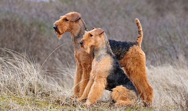 airedale terrier breeders airedale terrier breed information 1285