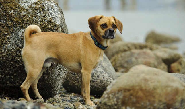 Image Gallery puggle adults