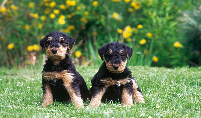 airedale terrier breeders airedale terrier breed information 9627