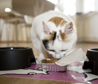 Cat Vomiting Food And Bile After Eating