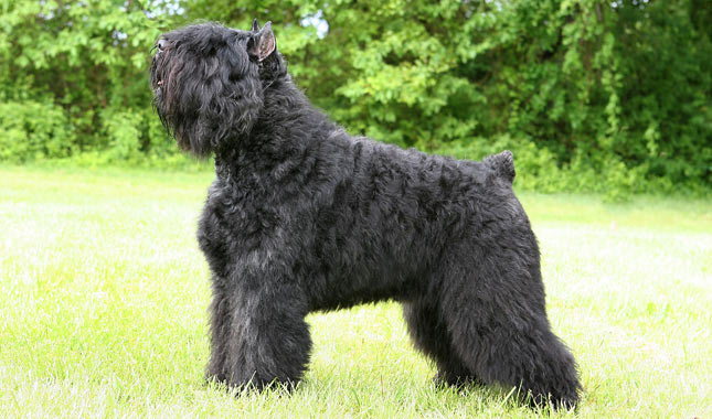 Bouvier des Flandres History, Personality, Appearance ...  |Bouvier Dog