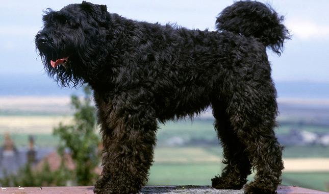 Can't Get Enough Pix of Squeezable Bouvier Des Flandress ...  |Bouvier Dog