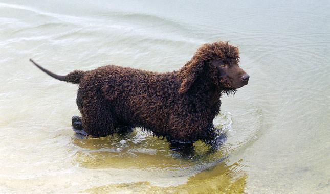 Irish Water Spaniel Breed Information