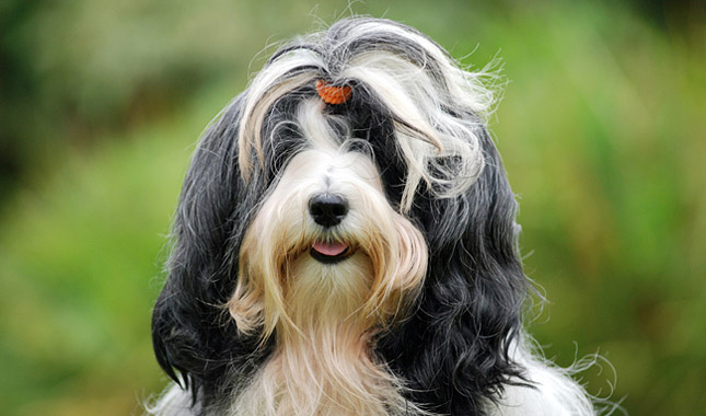 tibetano terrier tibetan terrier dog breed information 277