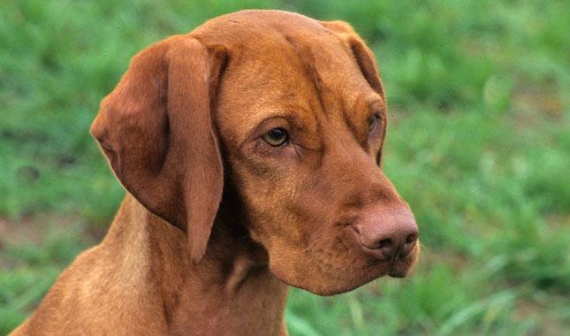 Vizsla Dog Breed Infor...