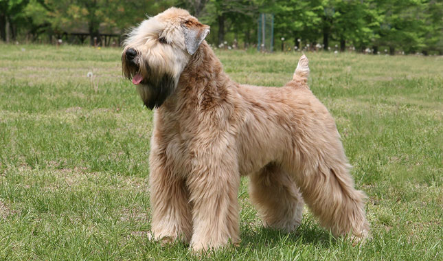 soft haired wheaten terrier puppies soft coated wheaten terrier dog breed information 7378