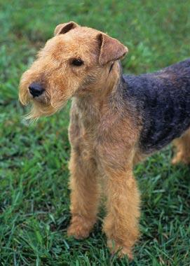 Lakeland Terrier Breed Information