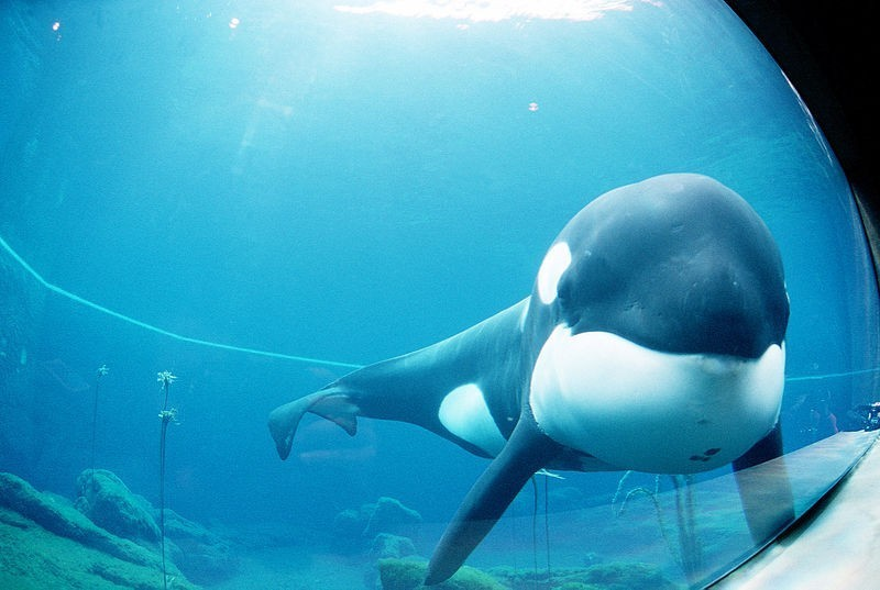SeaWorld Admits To Giving Orcas Anti-Anxiety Drugs