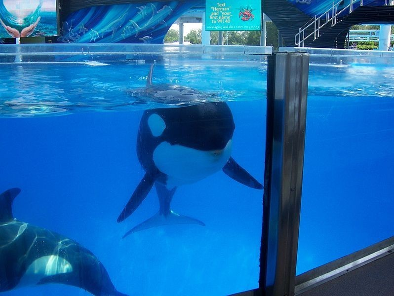 Incidents At Seaworld Parks: SeaWorld Gave Nursing Orca Valium, Against Accepted Vet