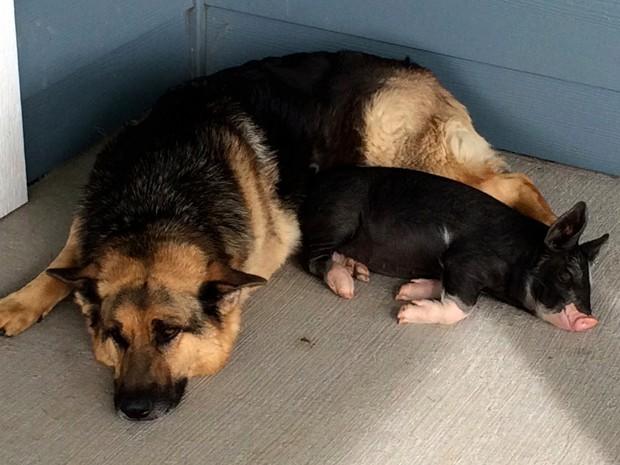 Babe  quot  But In Real Life  German Shepherd Adopts Runt Piglet As His OwnGerman Shepherd Runt