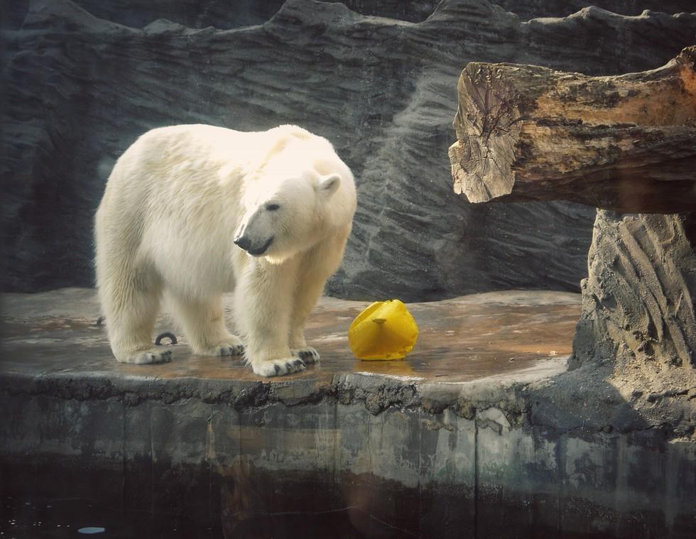 Image result for chester zoo polar bear
