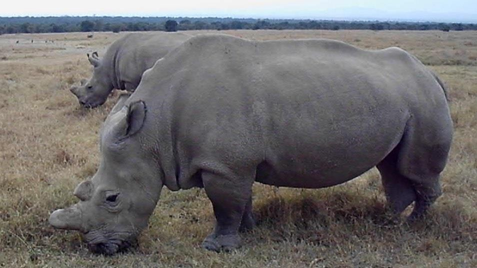 There Are Now Only 6 Northern White Rhinos On Earth