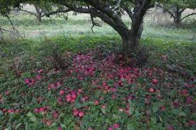 An Apple in an Overgrown Orchard