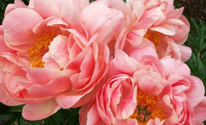 Consider the Peonies