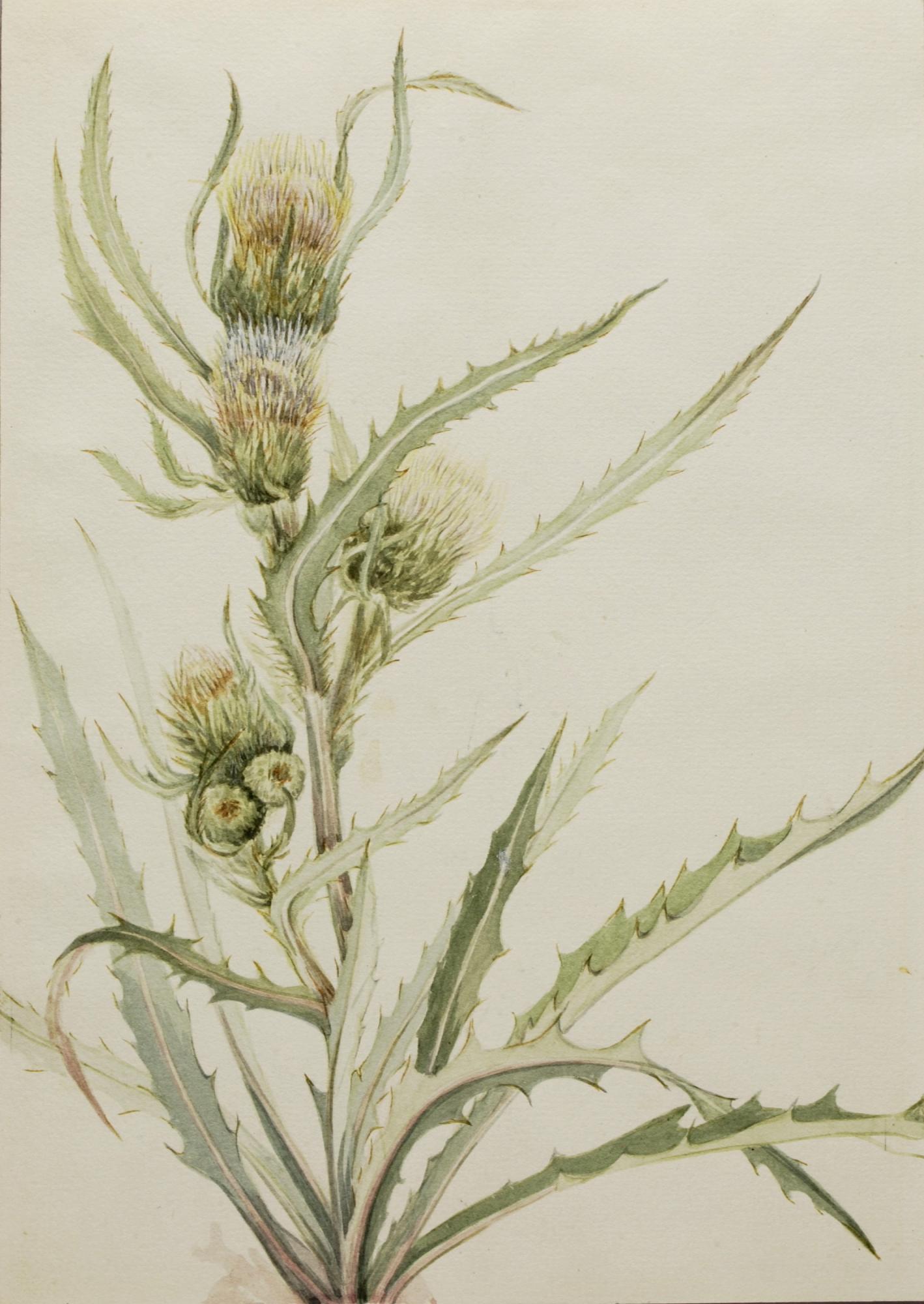 White thistle cirsium hookeranum smithsonian american art museum zoom download mightylinksfo