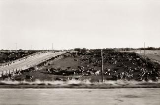 A photograph of a Nebraska landscape with a cows taken by automobile.