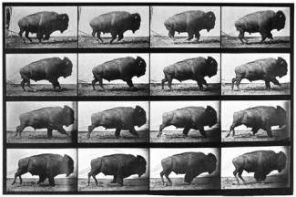 Muybridge's collotype of the same buffalo in a timeline of 16 prints.
