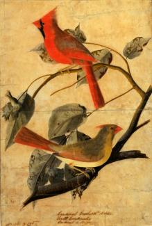 Audubon's drawing of a cardinal grosbeak on a branch.