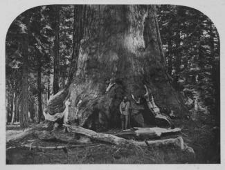 Watkins' albumen print of a large tree trunk with a man posed on it.