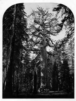 Watkins' albumen print of a large tree with four men under it.