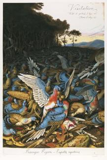 A painting of passenger pigeons eating food off the ground.