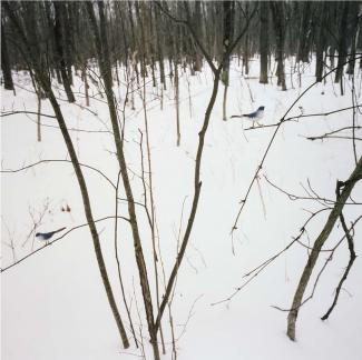 A photograph in nature with snow on the ground and a blue and white bird on a tree limb.