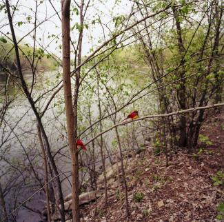 A photograph in nature with water and two red birds on a tree limb.