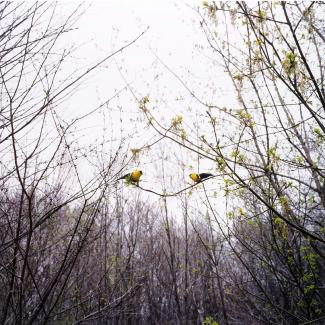 A photograph in nature of two yellow and black birds on a tree limb.