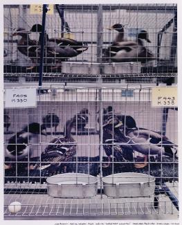 A photograph of birds in cages.