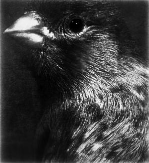 A black and white photograph of a bird.
