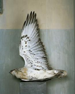 A photograph of a bird on its side with its wing extended.