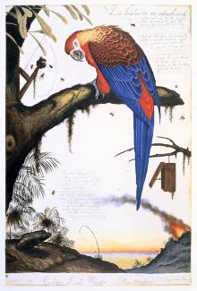 A painting of a Cuban red macaw in red and blue sitting on a tree.