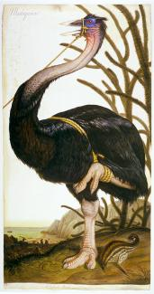 A painting of a great elephant bird that's tied up around the beak.