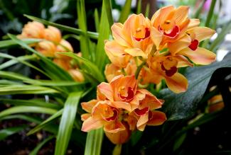A photograph of orange and red orchids.