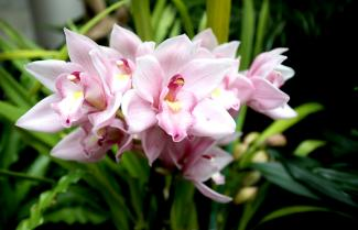 A photograph of pink orchids.