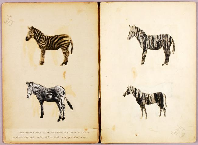 Zebras, study folder for book Concealing Coloration in the Animal Kingdom