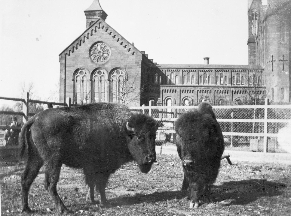 A black and white photograph of the Smithsonian Castle building with buffalos outside.