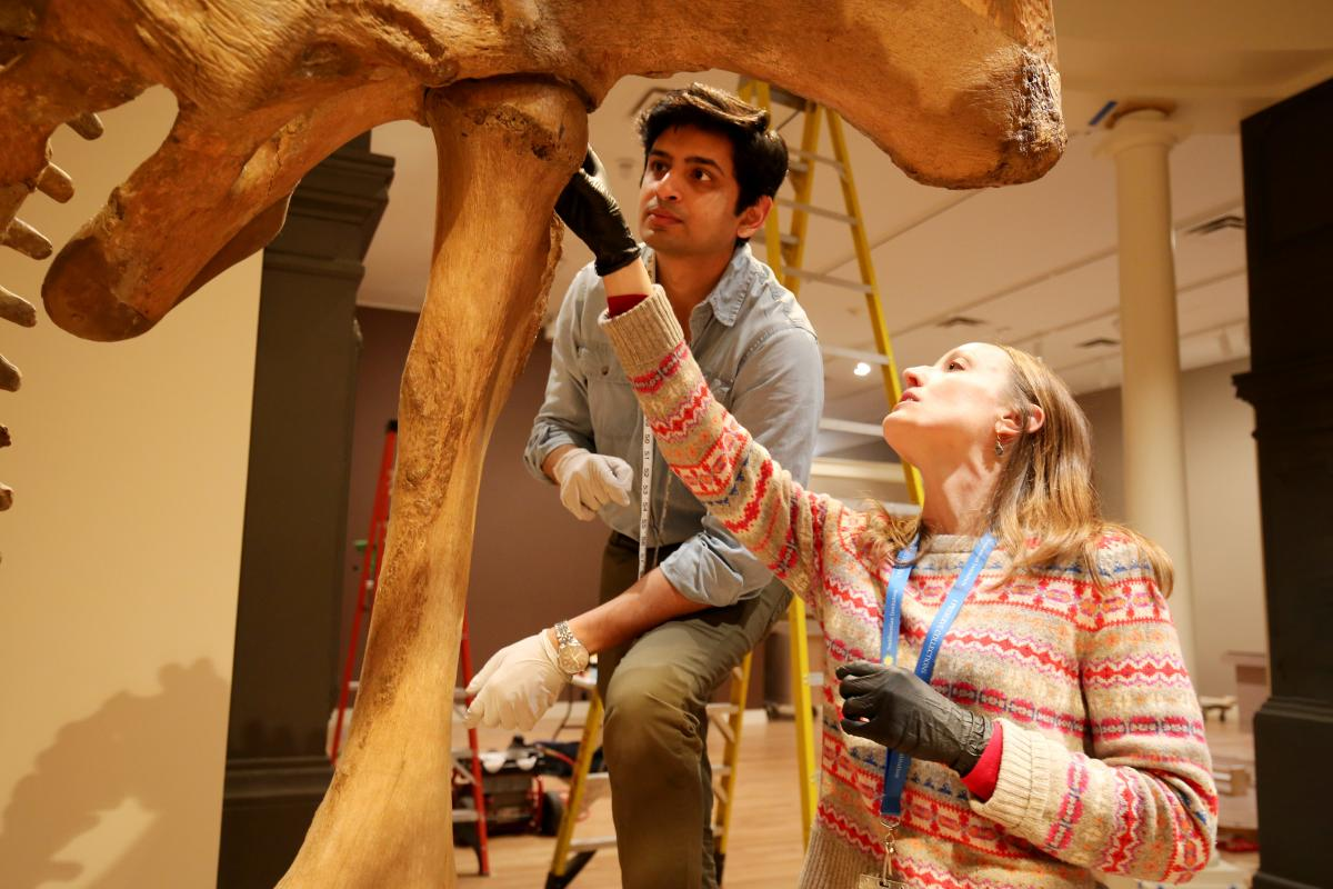 Two conservators look at the mastodon's femur