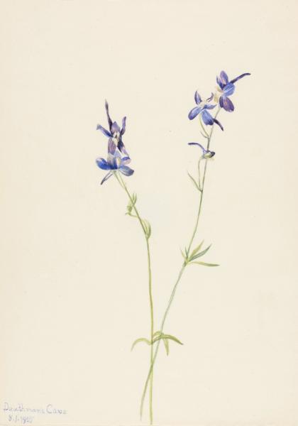 blue larkspur delphinium nuttallianum smithsonian american art