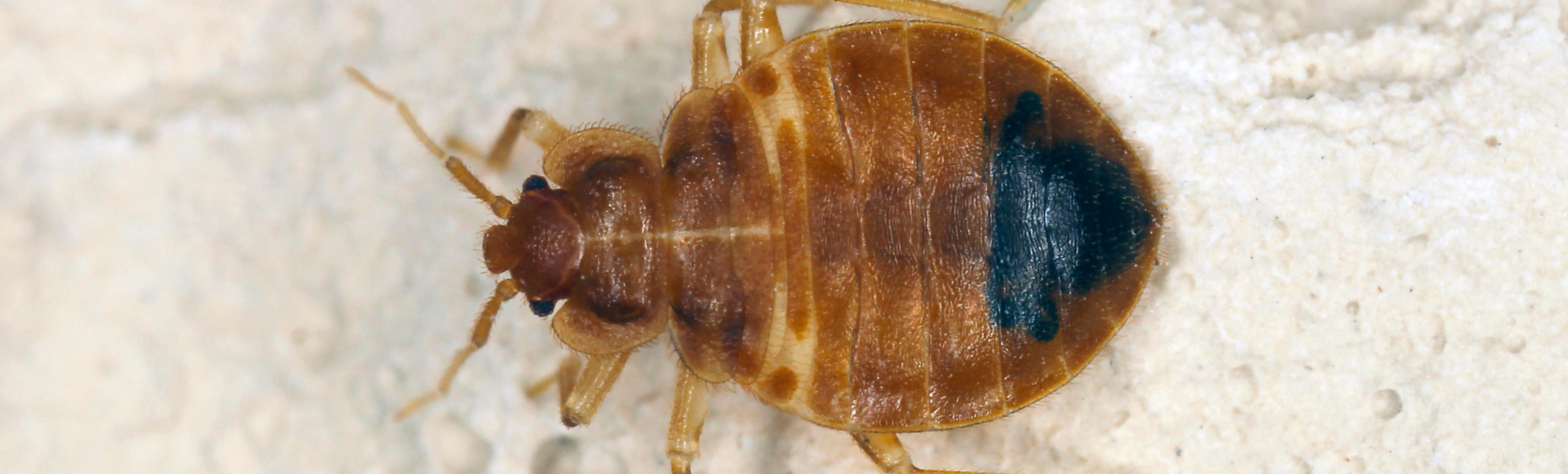 Bed Bug Information And Facts Cook S Pest Control