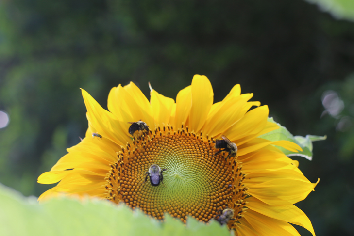 Sunflowers, Bees on Sunflowers, Bees