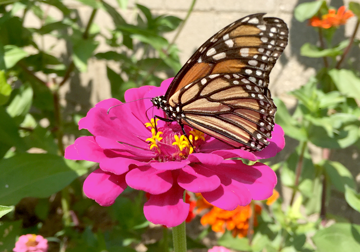 Butterflies, Zinnias, Bumblebees