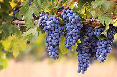 Tour the Vines of Napa Valley