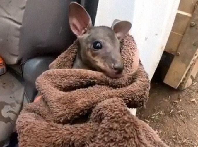 baby kangaroo rescued