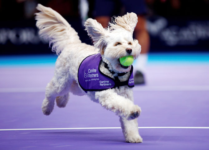Dog as ball boy tennis